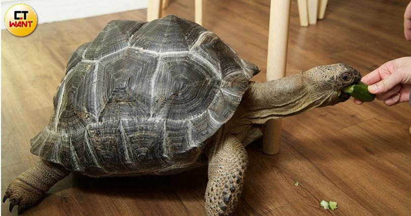店裡養了8年的象龜「大眼」。(圖/施岳呈攝)
