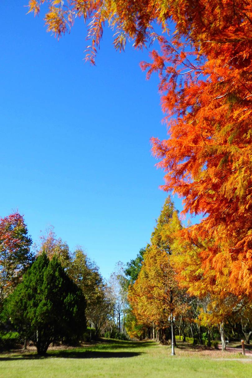 秋天的奧萬大國家森林遊樂區,滿山羽落松與楓樹呈現暖系調色盤,金、橘、紅色系搶眼奪目。(圖/林務局提供)