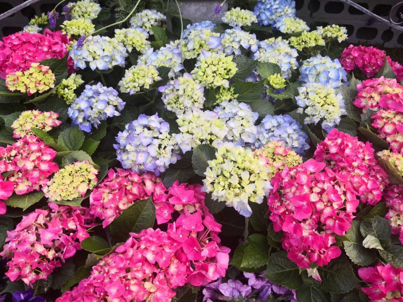除了杜鵑花,大安森林公園的繡球花也進入盛開期。(圖/魏妤靜攝)