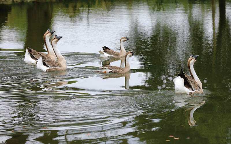 雞、鴨、鵝自在游走,是掃叭隧道北口前閒適的農村風情。(圖/施岳呈攝影)