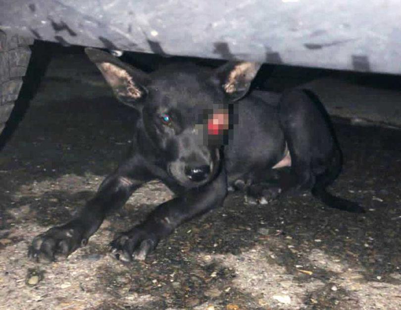由於眼睛受傷,黑寶到了陌生環境,會對聲音異常敏感。(圖/米可白提供)