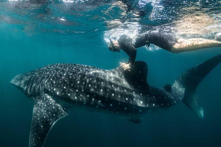 布拉德.諾曼(Brad Norman)利用精密的電子標籤,保護澳洲家鄉乃至其他地區的鯨鯊。(圖╱ROLEX提供)