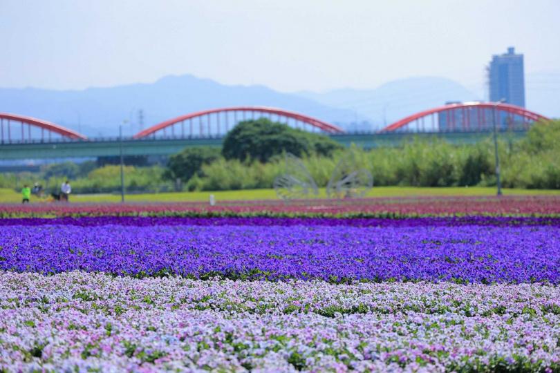 由淺至深共6種顏色的香堇菜滿開,景緻迷人。