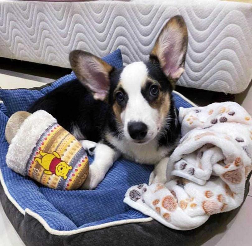 對於Pucca見東西就亂咬及隨處方便等習慣,寵狗無極限的王彩樺毫不在意。(圖/翻攝自王彩樺臉書)