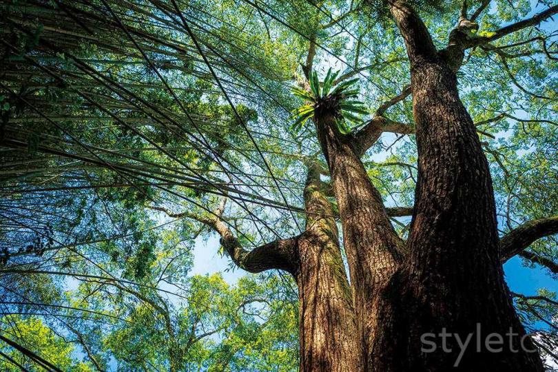 走在步道中,不時可以看見高壯成群的樟樹巨木。(圖/林士傑攝)