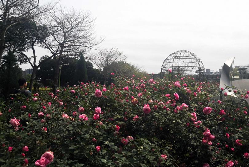 「臺北玫瑰園」玫瑰盛放,讓人彷彿置身異國。