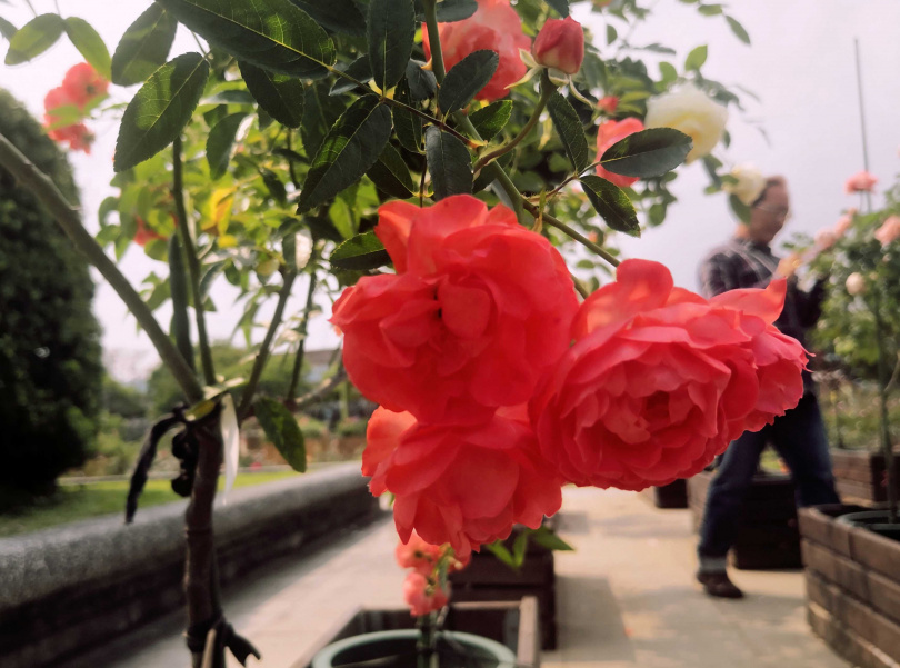 雖然展覽還未正式起跑,但已吸引不少民眾到園區賞花。