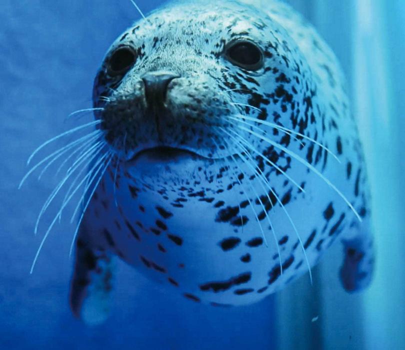 調皮的海豹在「寒帶行凍」區環繞著流冰上下游竄。(圖/水族館提供)