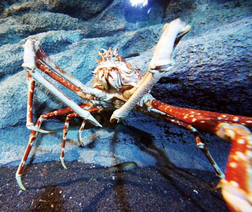 「Xpark」獨家引進現存體型最大的甲殼動物「甘氏巨螯蟹」,最長可達4公尺。(圖/于魯光攝)