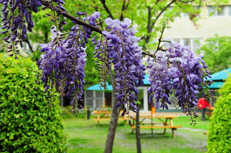 位於台中的武陵農場,為全台賞紫藤花的最佳景點之一。