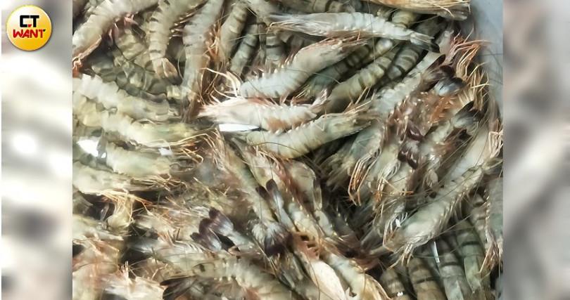 新鮮明蝦做完急凍處理準備清洗。(攝影/高靜玉)