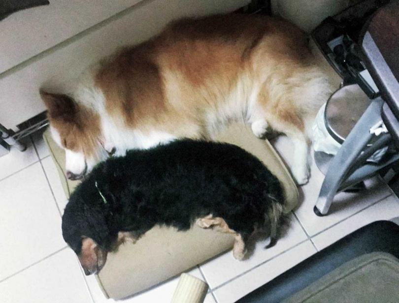 牛奶和路哥經常爭寵,睡在一起的畫面並不多見。(圖/鍾政均提供)