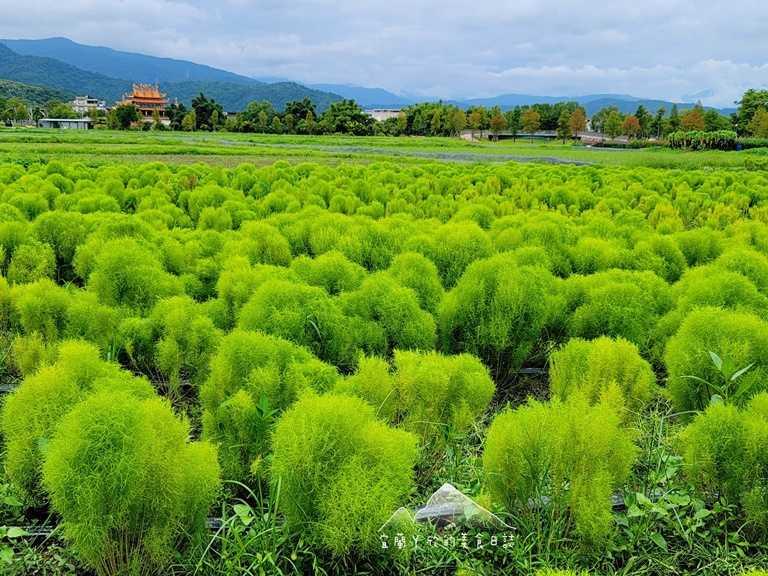 今年冬山鄉公所在舊河道碼頭旁栽種3,000株的日本波波草。(圖片提供:宜蘭ㄚ欣的美食日誌)