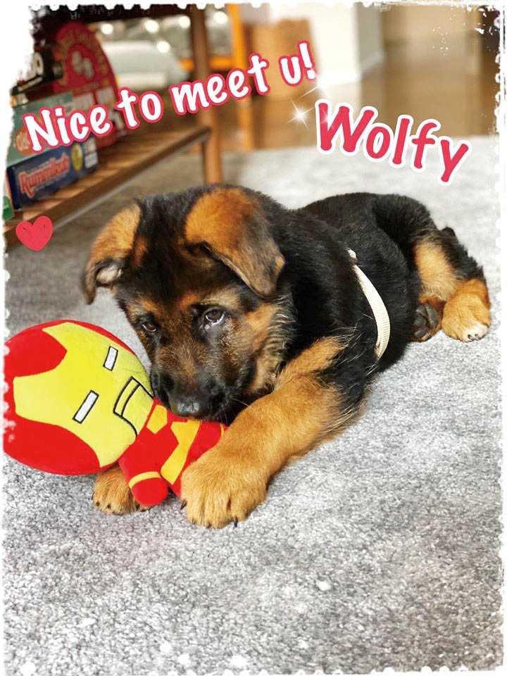 Wolfy兩個月大就被李蒨蓉帶回家,萌樣融化一家人,如今已長成帥氣大狗。(圖/李蒨蓉提供)