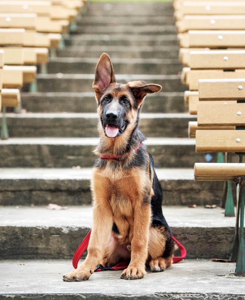 Wolfy兩個月大就被李蒨蓉帶回家,萌樣融化一家人,如今已長成帥氣大狗。(圖/張祐銘攝)