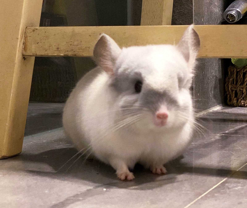 號稱「真實版龍貓」的絨毛絲鼠,在戴安娜家中有恆溼恆溫的專屬房間。(圖/戴安娜提供)