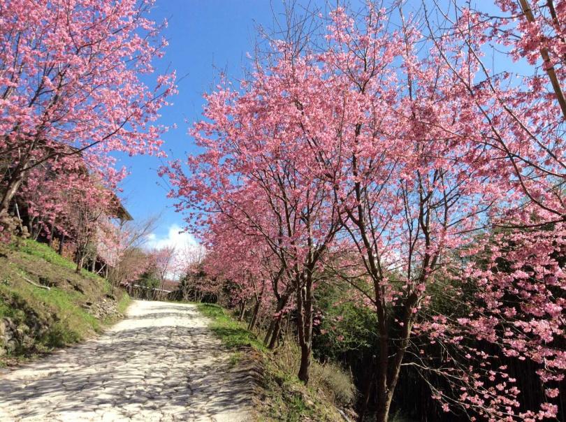 而竹苗地區的山林之中,野生山櫻花綻放於群山環繞中,別有風情。(圖/雄獅旅遊)