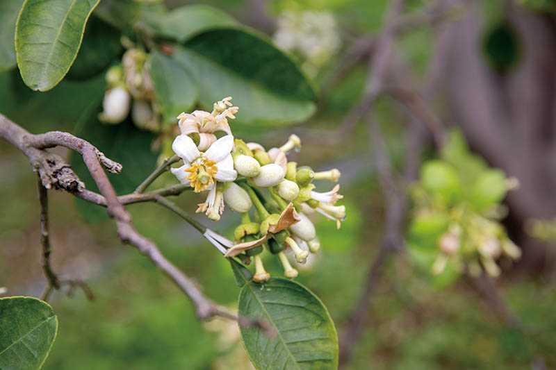 今年因氣候影響,柚花開得早,花期預估可到3月底。(圖/宋岱融攝)