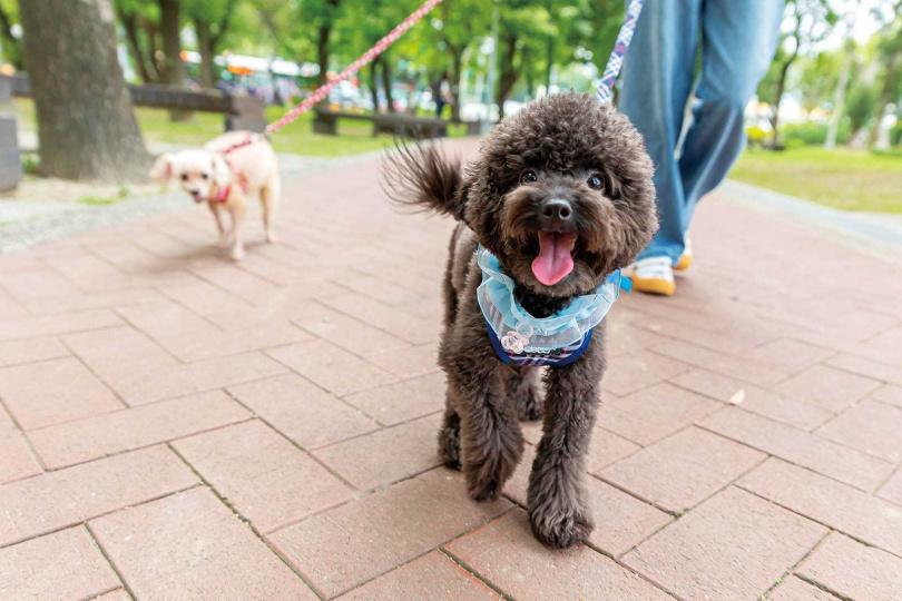1歲的Lufa個性活潑,非常容易與人親近,更幫助何紫妍走出愛犬離世的傷痛。(圖/林士傑攝)