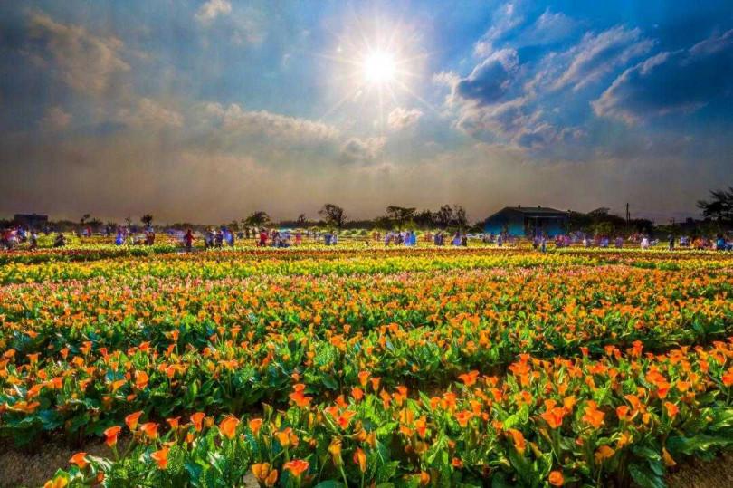 2020桃園海芋季暫停開辦,花田仍開放民眾參觀。(圖為去年花況)(圖/桃園市政府)