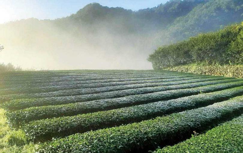 台北市文山區是台灣包種茶的最大產區,每年會針對春、冬茶進行評鑑。(圖/新北市觀光局提供)