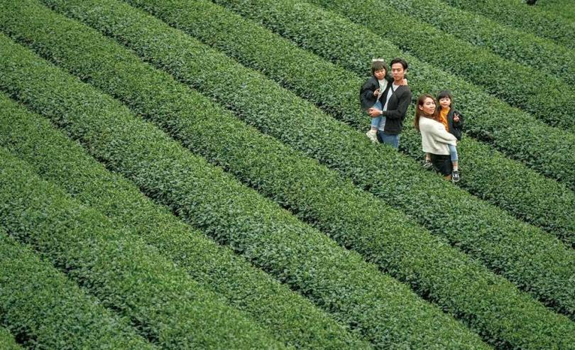 除了水之外,茶是消耗最多的飲品,光在台灣,每年就喝掉5.5萬噸茶葉。圖為新北坪林茶園。(圖/新北市觀光局提供)