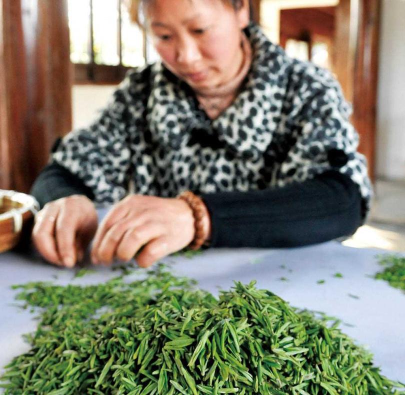碧螺春為不發酵的綠茶,新北市三峽區是台灣最主要的產區。(圖/報系資料庫)