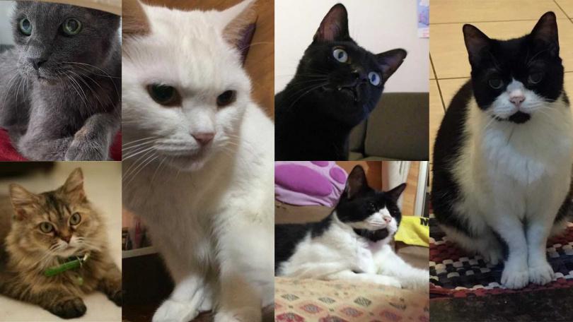 高慧君曾同時和小朋友(右1)、QQ(右2上)、大頭(右2下)、FAFA(左2)、Bobo(左1上)、Luna(左1下)等6貓一同生活,家中非常熱鬧。(圖/艾迪昇提供)