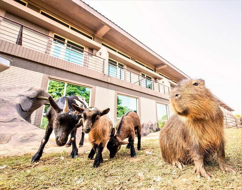 福豚與侏儒山羊們。(圖/六福旅遊集團提供)