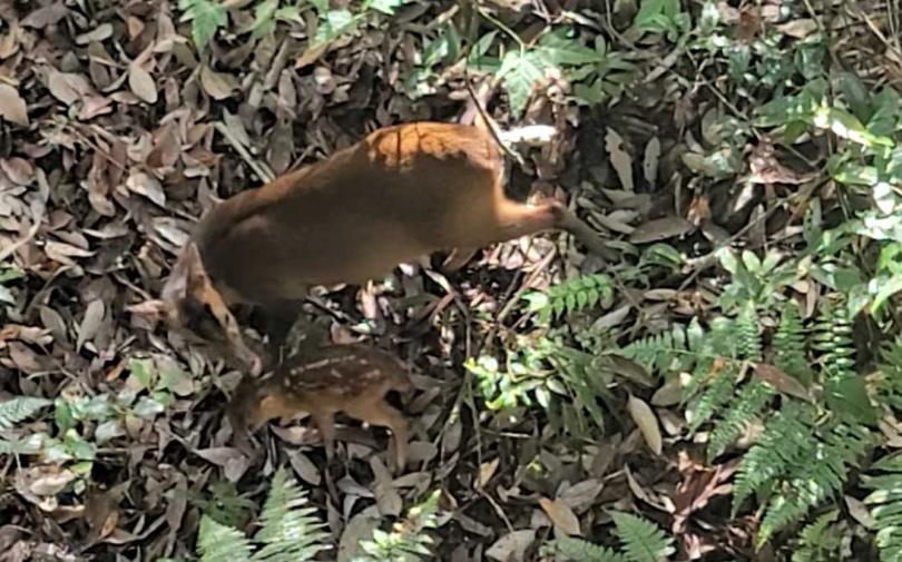 生性膽怯的母山羌帶著小山羌覓食。(圖/武陵農場)