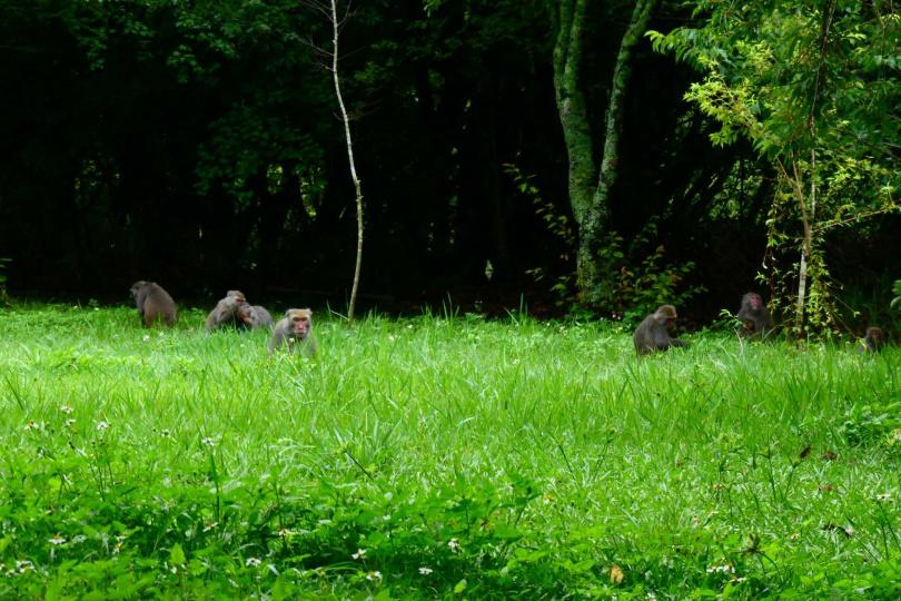 奧萬大出現台灣獼猴家族。(圖/奧萬大國家森林遊樂區)