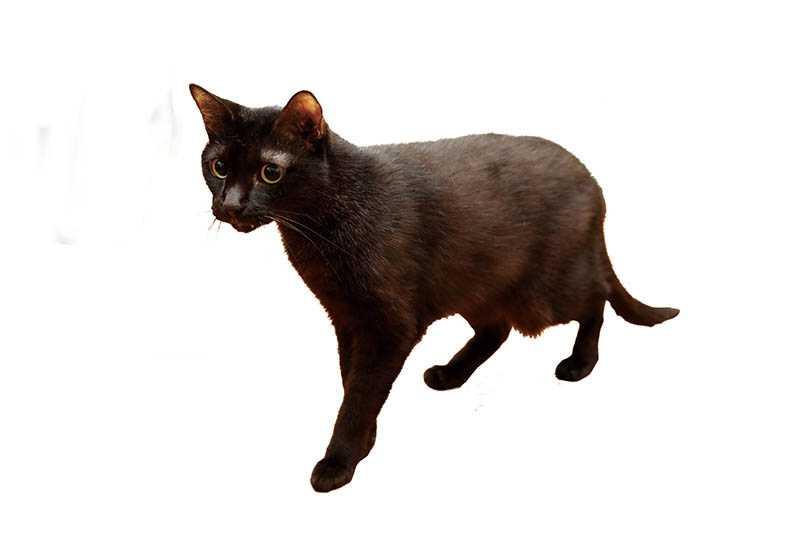 黑貓「白白」是Amy從車底搶救出來的小生命,也是她第一隻救援的貓咪。(圖/戴世平攝)