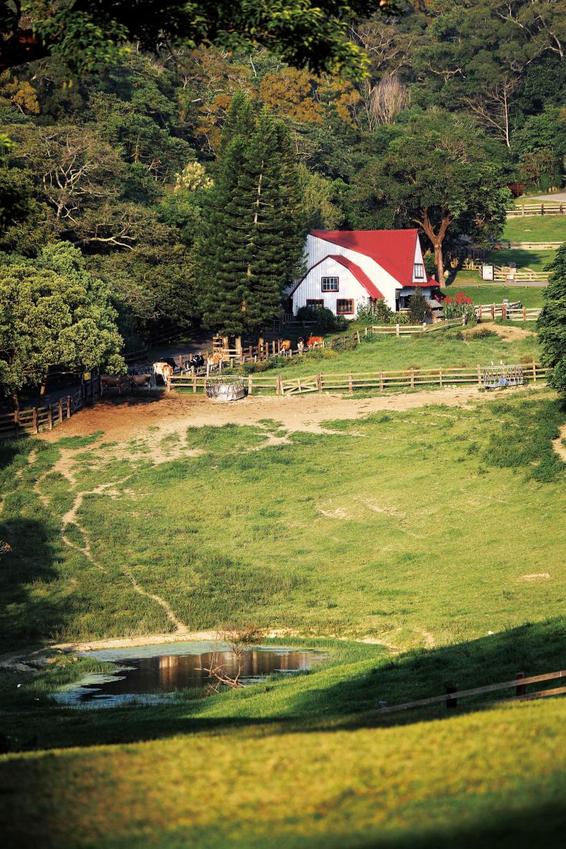 牛隻在開闊的園區悠閒覓食,吸引不少親子旅客造訪。(圖/于魯光攝)