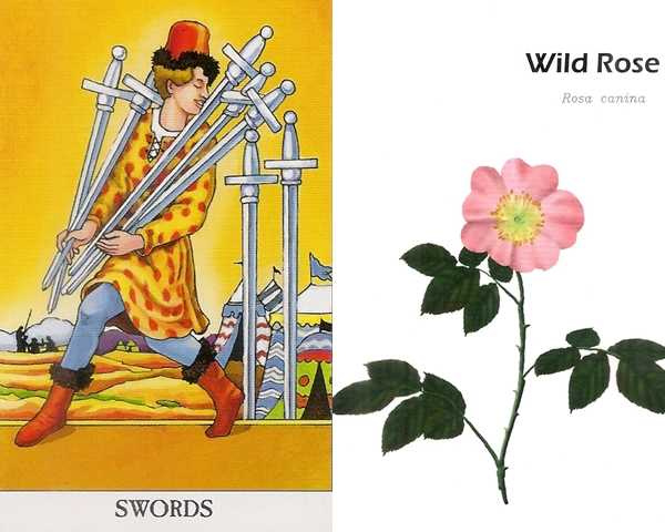 A 寶劍七+野玫瑰—先看見自己的優點