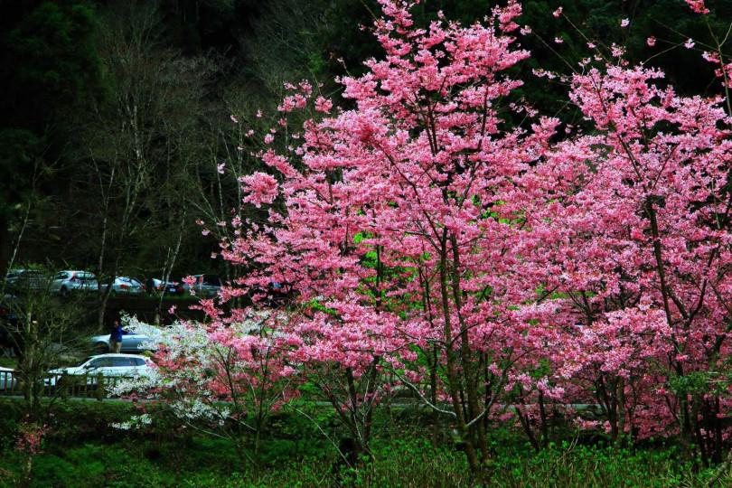 不同品種的櫻花接力綻放。(圖/杉林溪森林生態渡假園區提供)
