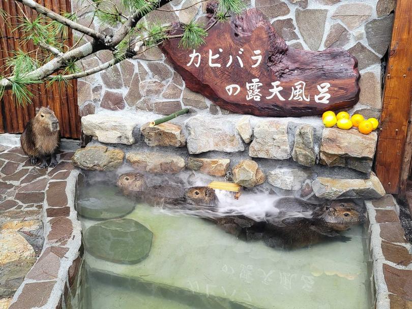 水豚只要把鼻子曝露於空氣中,就可以在水下睡大頭覺。圖片來源:宜蘭ㄚ欣的美食日誌