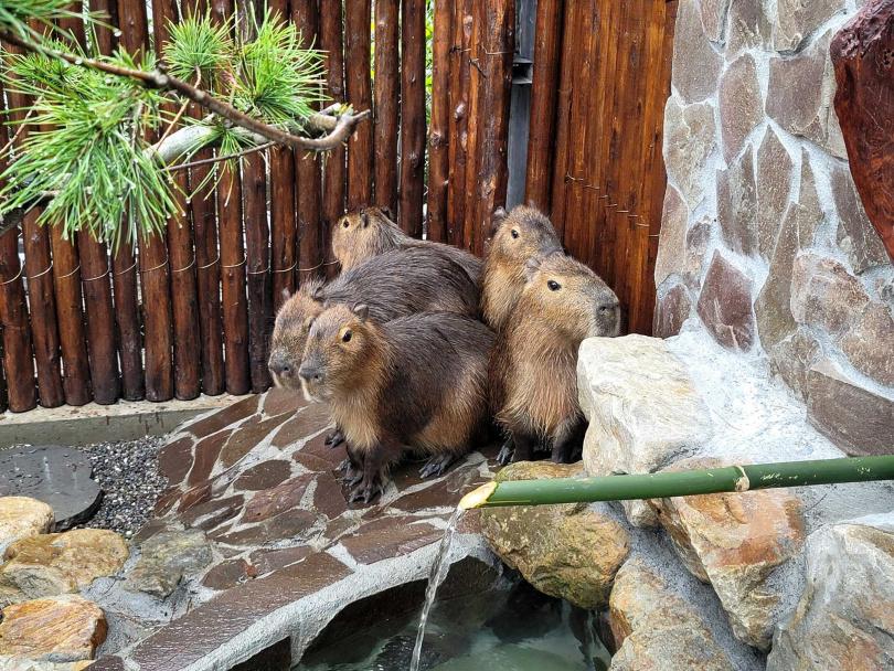 五隻水豚君剛到新的環境,目前還在適應中。圖片來源:宜蘭ㄚ欣的美食日誌