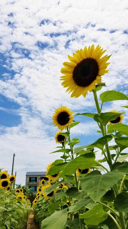 5月開始,向日葵開始綻放,帶來療癒正能量。(圖/Tripadvisor提供)
