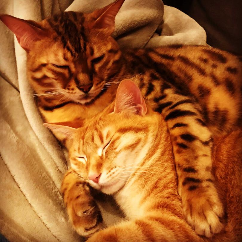 身為貓主人,余荃斌有時累了看到他們兩貓依偎躺在一起時,心中就莫名覺得感動。(圖/艾迪昇提供)