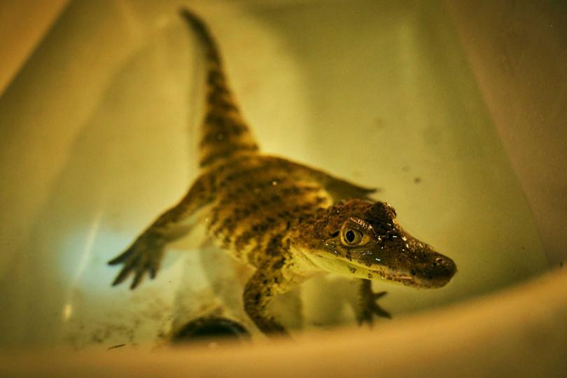 《做工的人》製作團隊找來「鱷魚」客串演出,網友大讚「連小鱷魚的演技都好好」。(圖/大慕影藝提供)