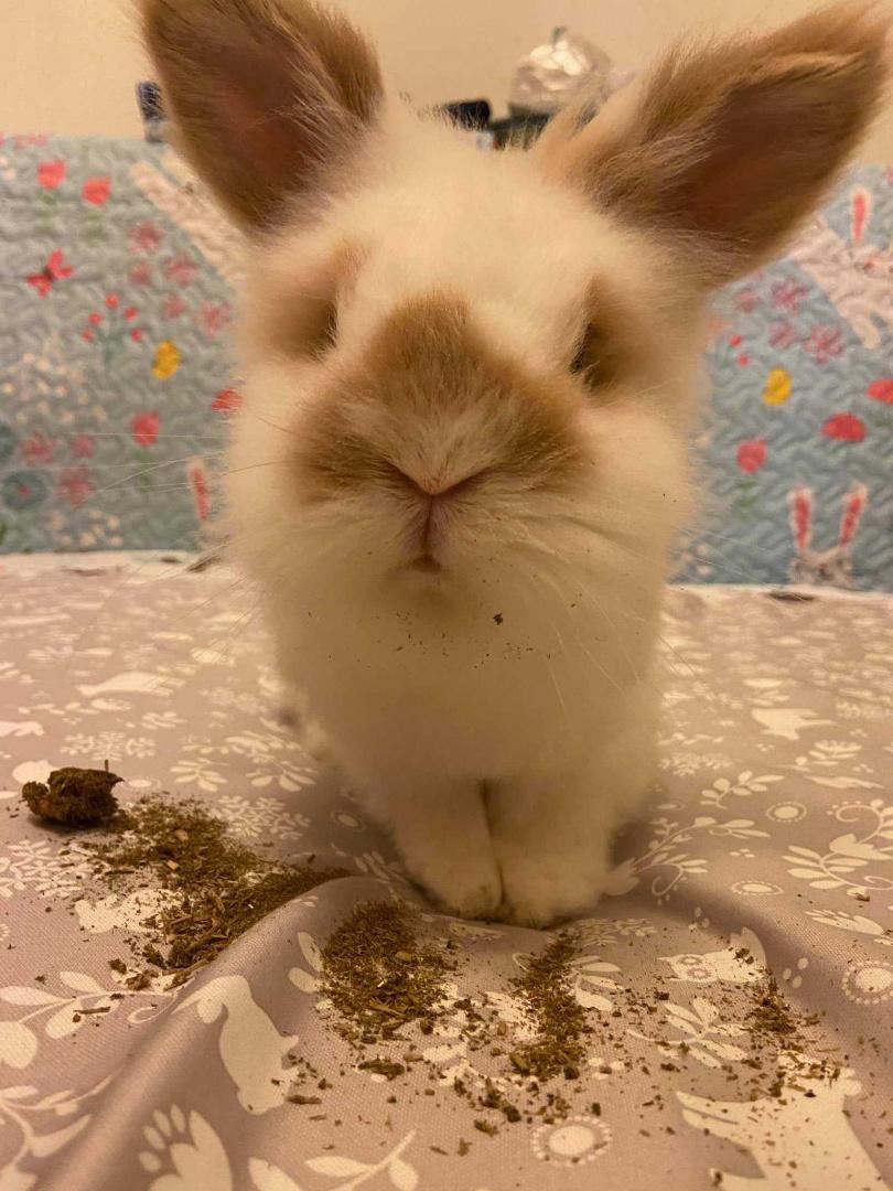 兔奴才剛換好新床墊而已,這讓人不禁好奇,草餅究竟有多好吃呢?