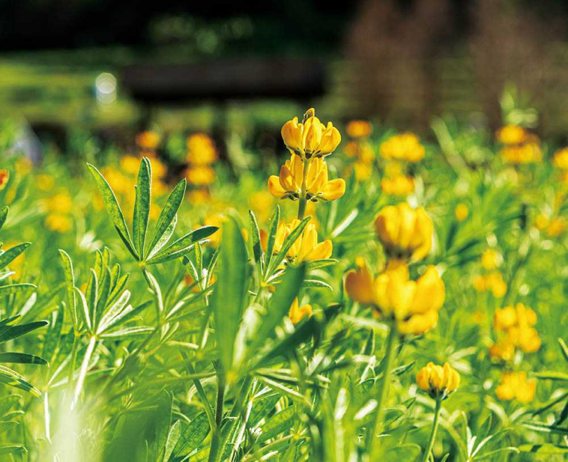 黃澄澄的魯冰花今年延後開花,於3月迎來最美花期。(圖/林士傑攝)