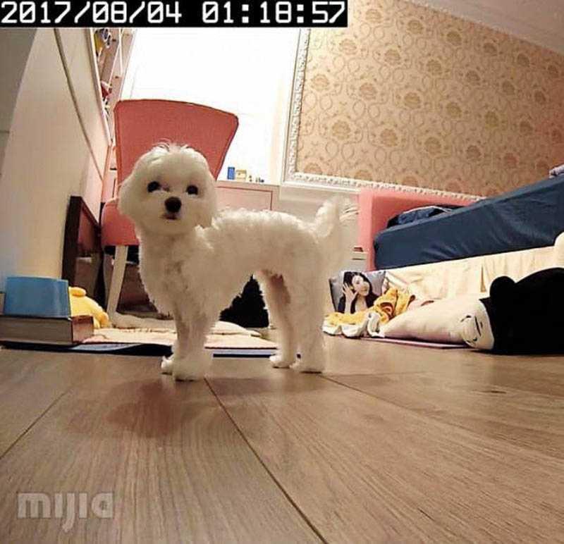 為了不讓島風在家太寂寞,Amanda特別在家裝置了互動式的寵物攝影機,方便跟牠說話。(圖/Amanda提供)