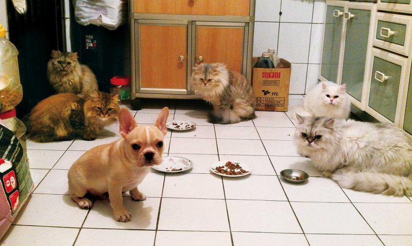 (圖/鄭凱提供)雖然被5隻貓視為勁敵,溫馴的NUNU卻從不爭寵,還與花花成為麻吉。