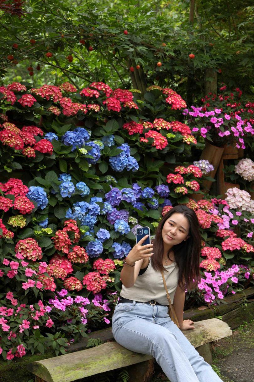 碧絡角花園的繡球花綻放,色彩紛呈正好拍。(圖/于魯光攝)