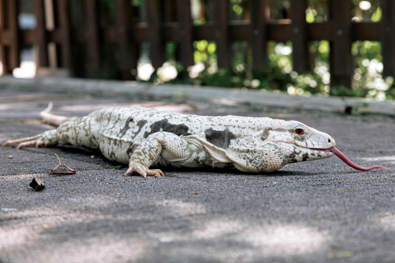 稀有的白冰南美蜥個性溫馴,吐著舌頭到處認識環境。(圖/林士傑攝)