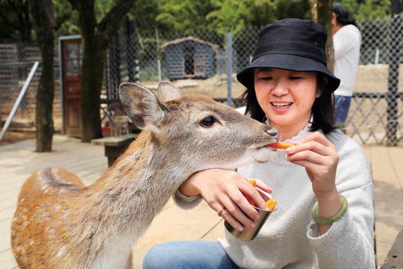 想親近怕生的梅花鹿,需有點耐心慢慢來。(攝影/于魯光)