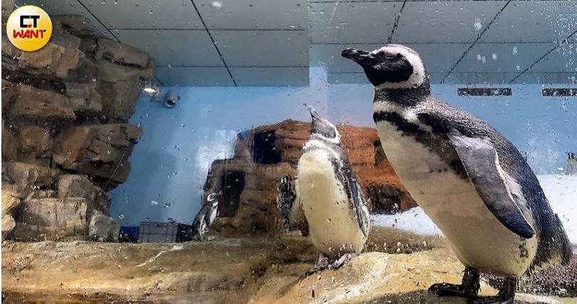 圖說-「企鵝奇遇區」有首次登台的「麥哲倫企鵝」。(圖/官其蓁攝影)