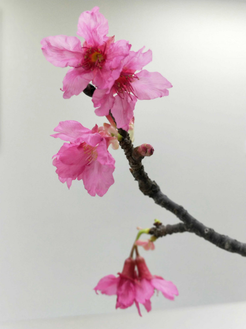 吟釀內的酵母菌採自台灣原生種山櫻花。