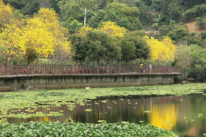 峨嵋湖沿岸的黃花風鈴木,逢春滿開,金黃色倒影與河面的布袋蓮相映生輝。(攝影/于魯光)